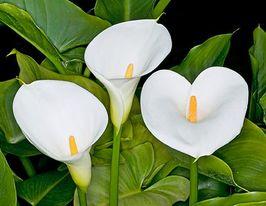 Видоизмененные подземные побеги: корневище, клубень, луковица, клубнелуковица. докажите, что корневище растений является видоизмененным побегом