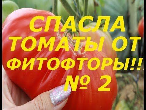 Фитофтора на помидорах как бороться в открытом грунте фото видео