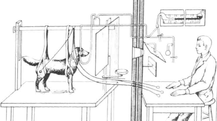 Иван павлов всю жизнь переживал за зарезанных им собак