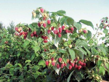 Ремонтантная малина: что это такое, сорта, выращивание, фото