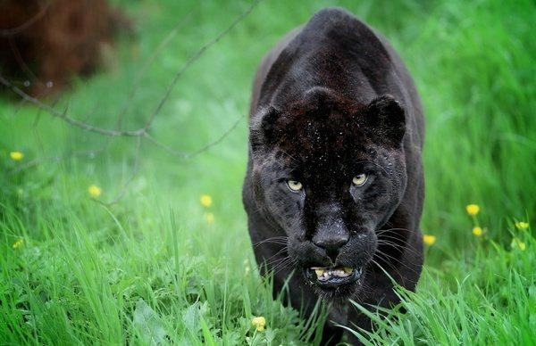 Где обитает пантера, и чем она питается?