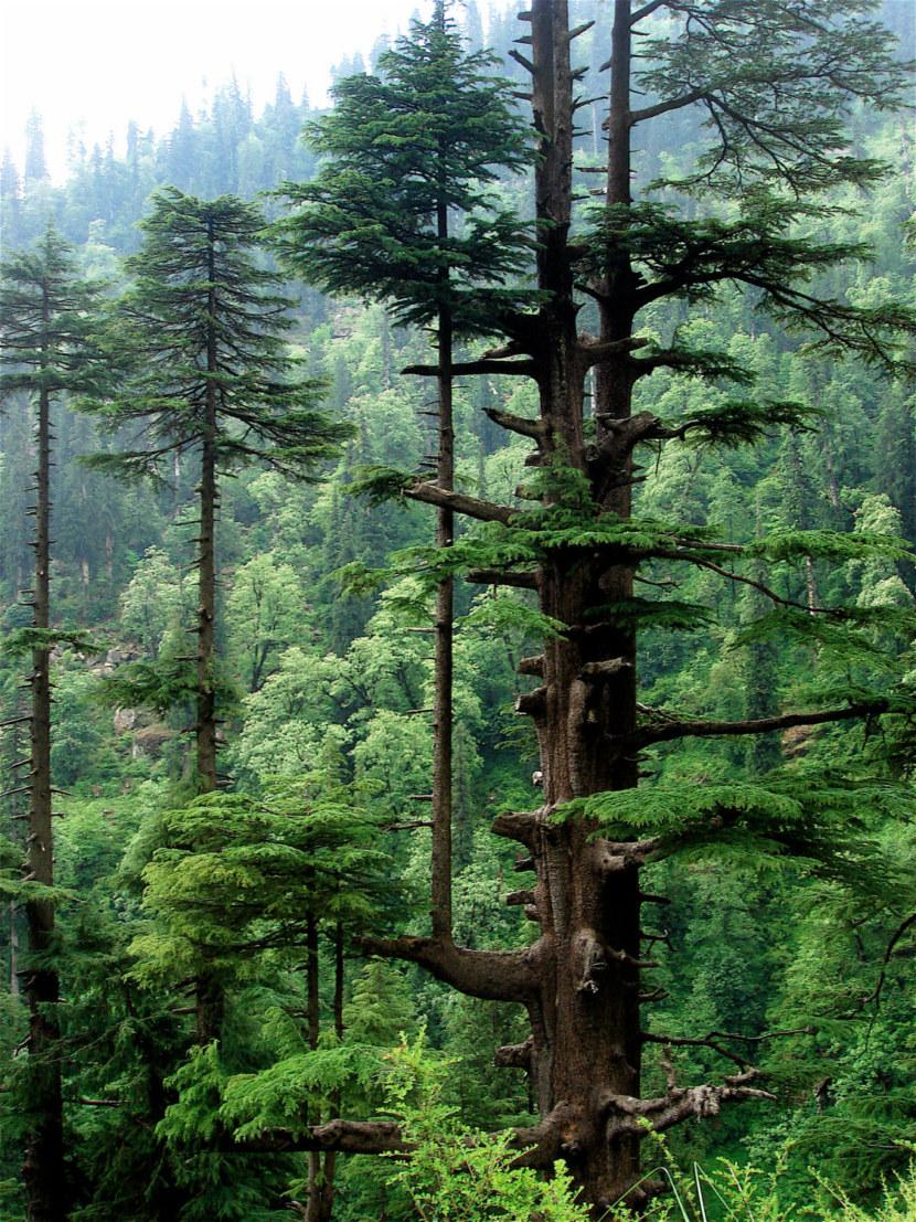 Кедр: описание дерева и применение