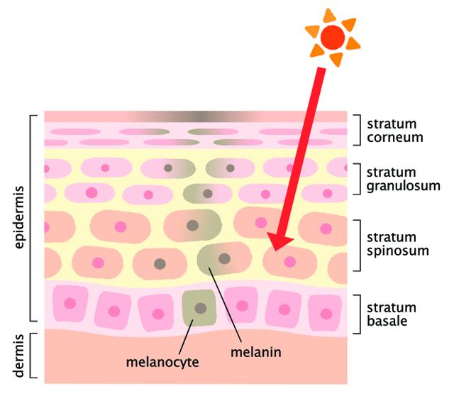 Как снизить выработку меланина в организме