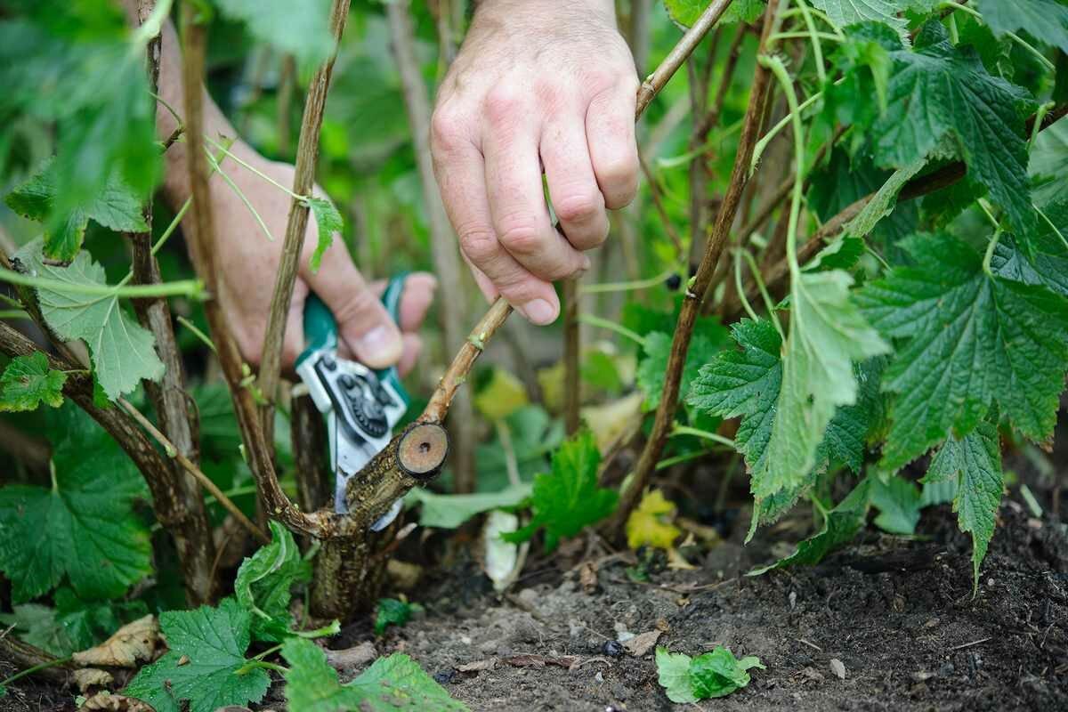 Выращивание малинового дерева, способы размножения штамбовой малины на даче