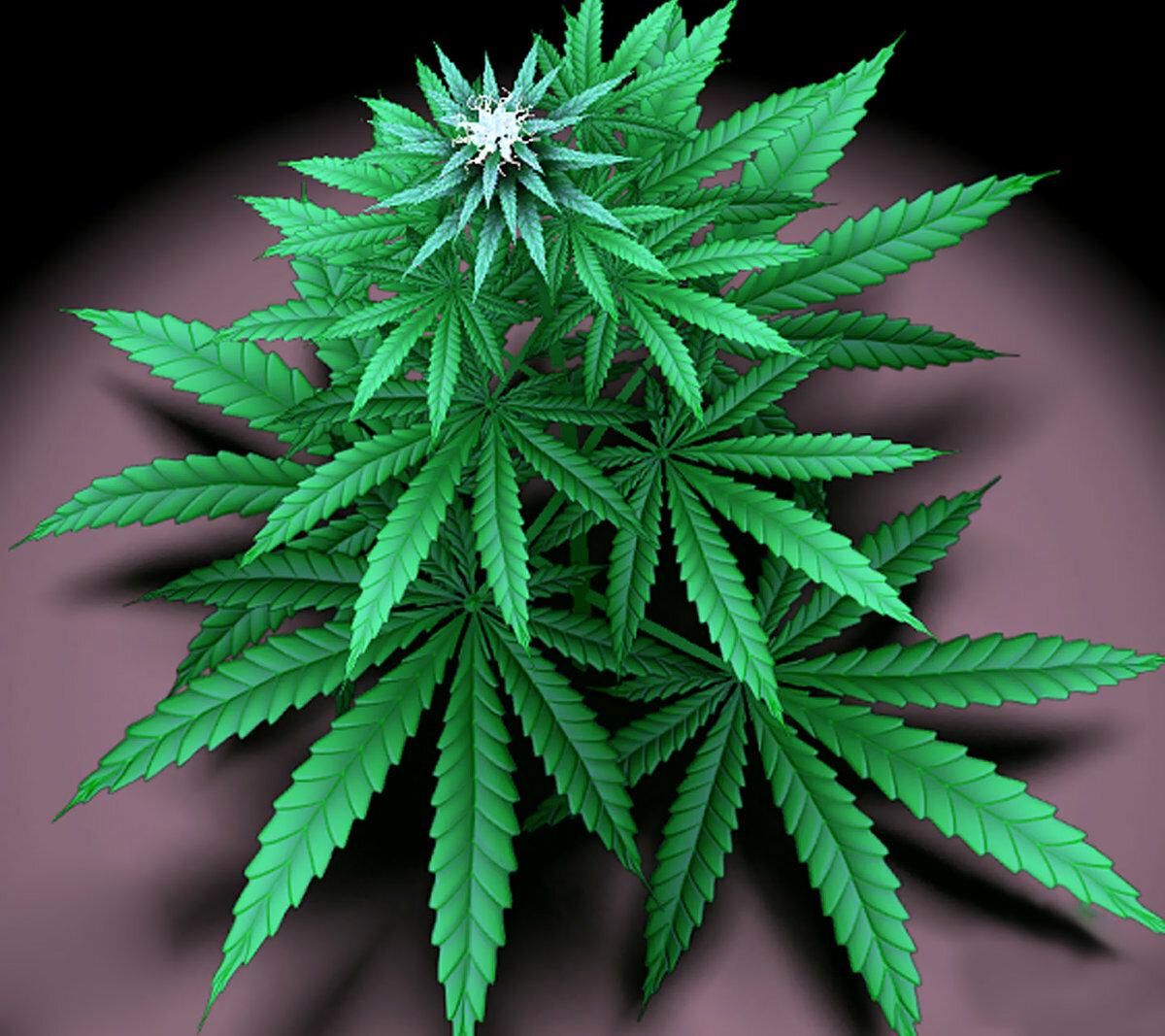 Каннабис - наркотик или лекарство