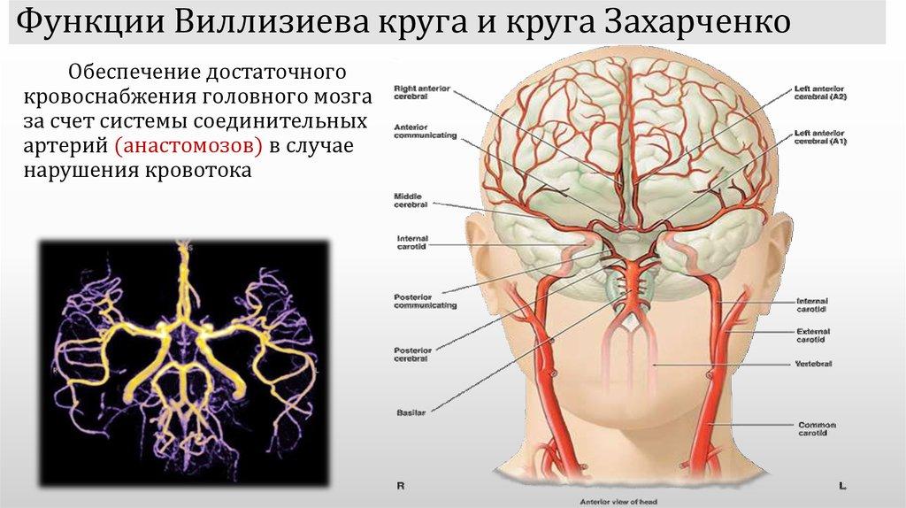 Виллизиев круг: что это такое, варианты развития, анатомия