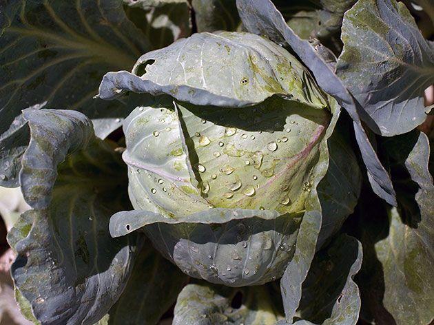 Капуста белокочанная – полезные свойства, состав и противопоказания