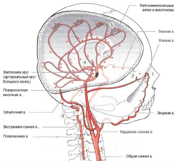 Что такое уздг брахиоцефальных артерий (бца): как проводится и что показывает, расшифровка