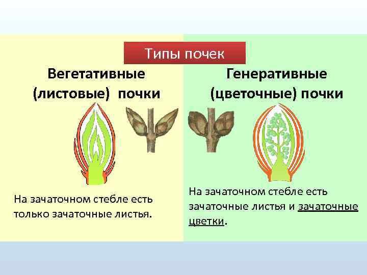 ᐉ покой почек - формирование почек и соцветий - roza-zanoza.ru