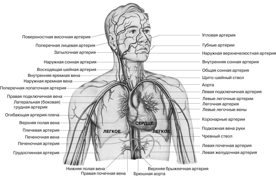 Строение сердечно-сосудистой системы