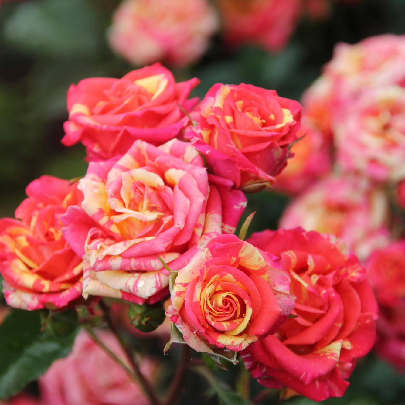 Розы спрей: что это такое и как их правильно выращивать
