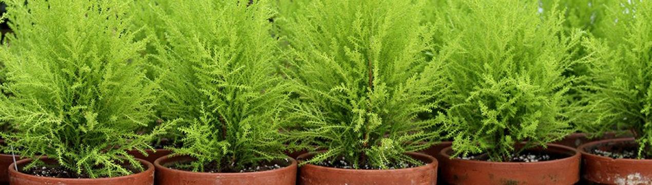 Кипарисовик: посадка и уход, виды и сорта с фото, выращивание кипарисовика