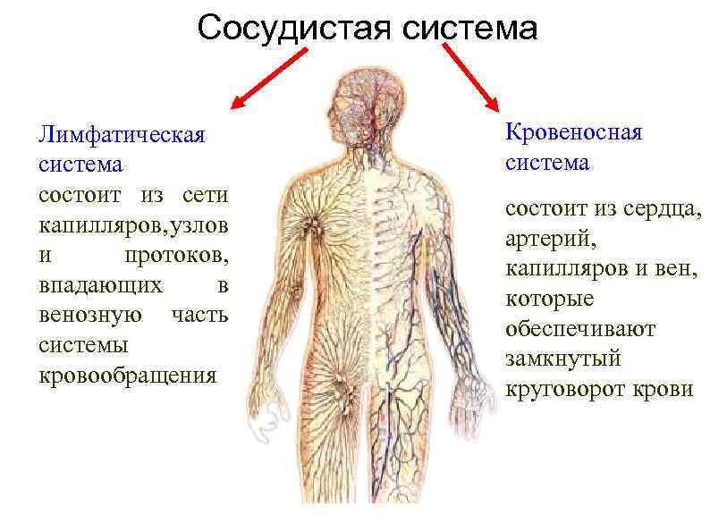 Артериальная система человека: строение, фукнции, патологии
