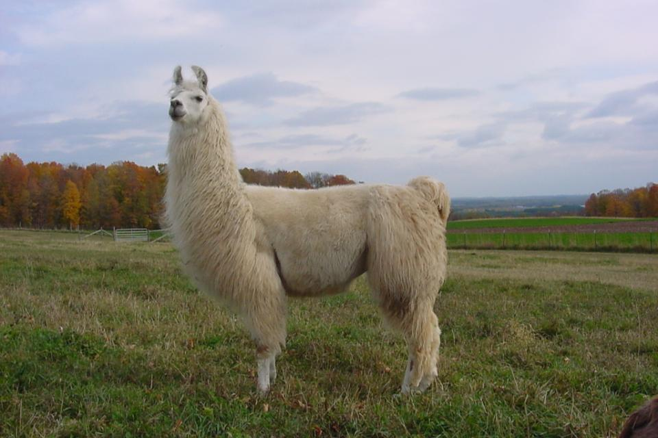 Лама (животное)