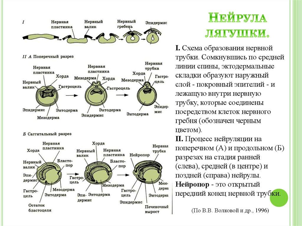 Нейрула - neurula