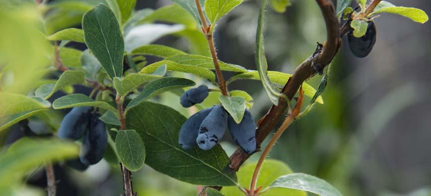 Жимолость - фото, полезные свойства, описание растения