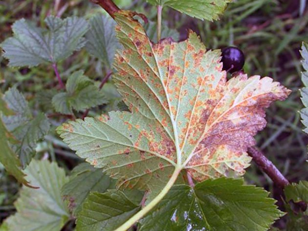 Красные пятна на листьях смородины: как бороться с болезнями
