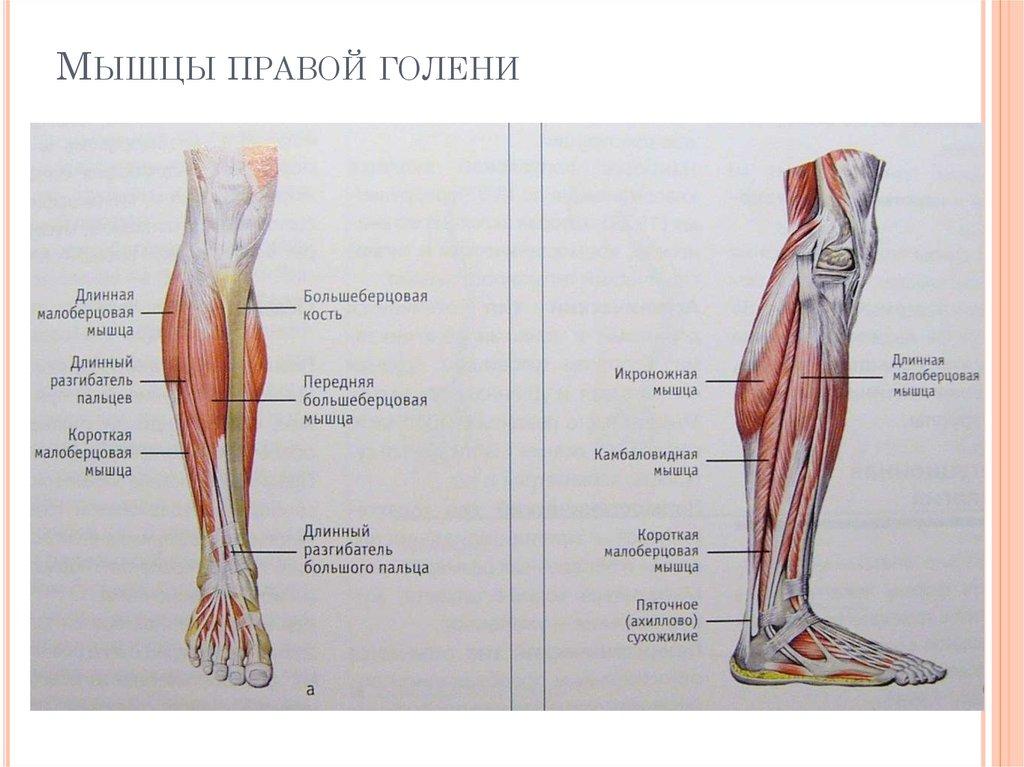 Строение и расположение голени человека: мышцы, болезни и лечение