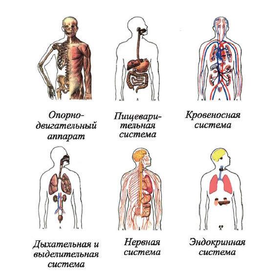 Системы органов человека: анатомия расположения внутренних органов, схема с описанием, функции, строение, особенности и деятельность человеческого организма | tvercult.ru