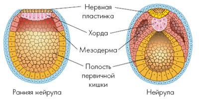 Мезодерма