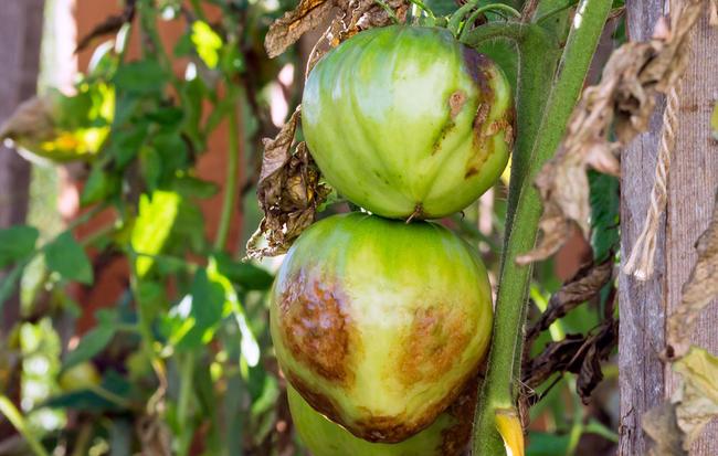 Борьба с фитофторой на помидорах, чем обработать томаты от фитофтороза, 36 фото | дачный участок