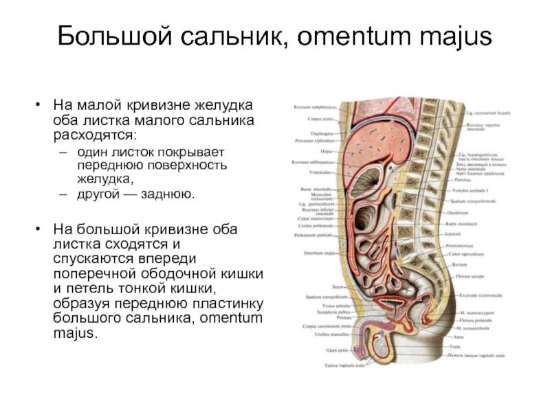 Где находится сальник у человека. большой сальник: анатомия, патология, лечение