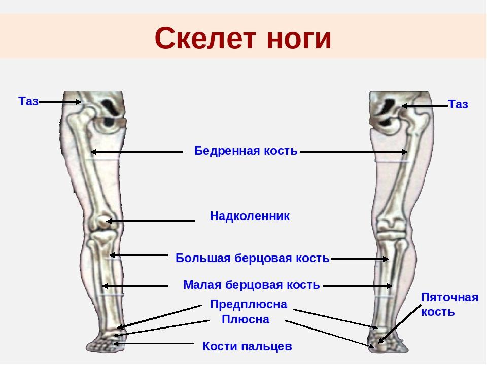 Анатомия ноги человека