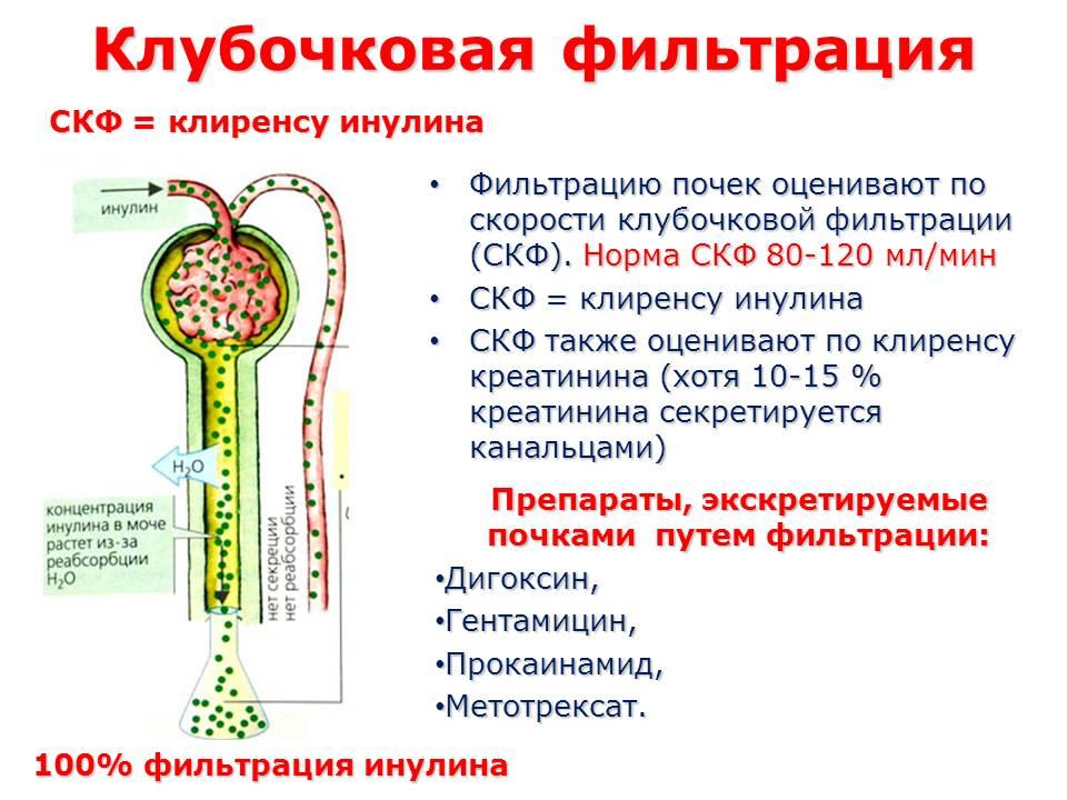 Скорость клубочковой фильтрации (скф): что это такое, норма, формула расчета - здоровая семья