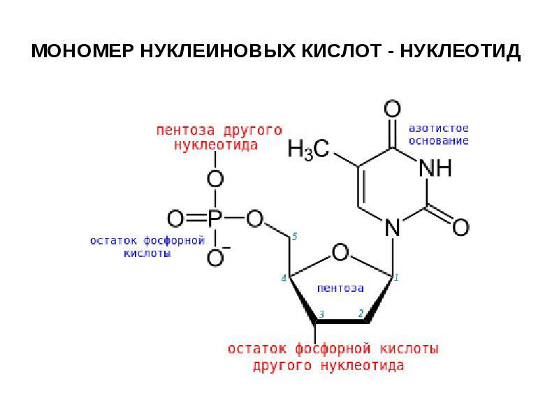 Нуклеиновые кислоты — знаешь как