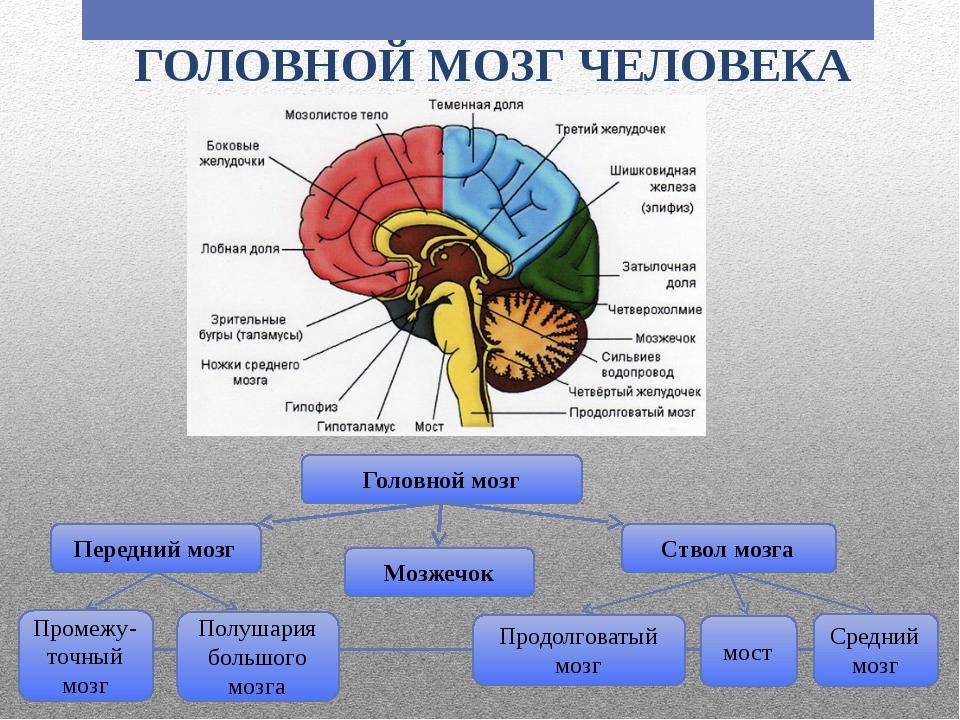Мозг человека википедия