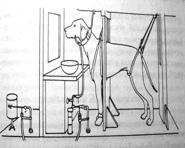 Собака павлова, что это – эффект собачки