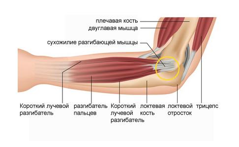 Что такое сустав биология - все про суставы