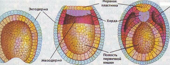 Стадия нейрулы