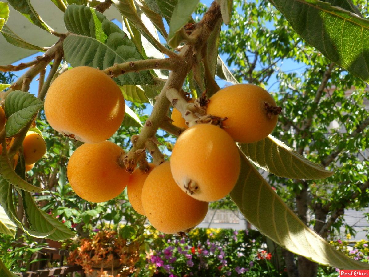 Выращивание фрукта мушмула из косточки в домашних условиях: как цветет