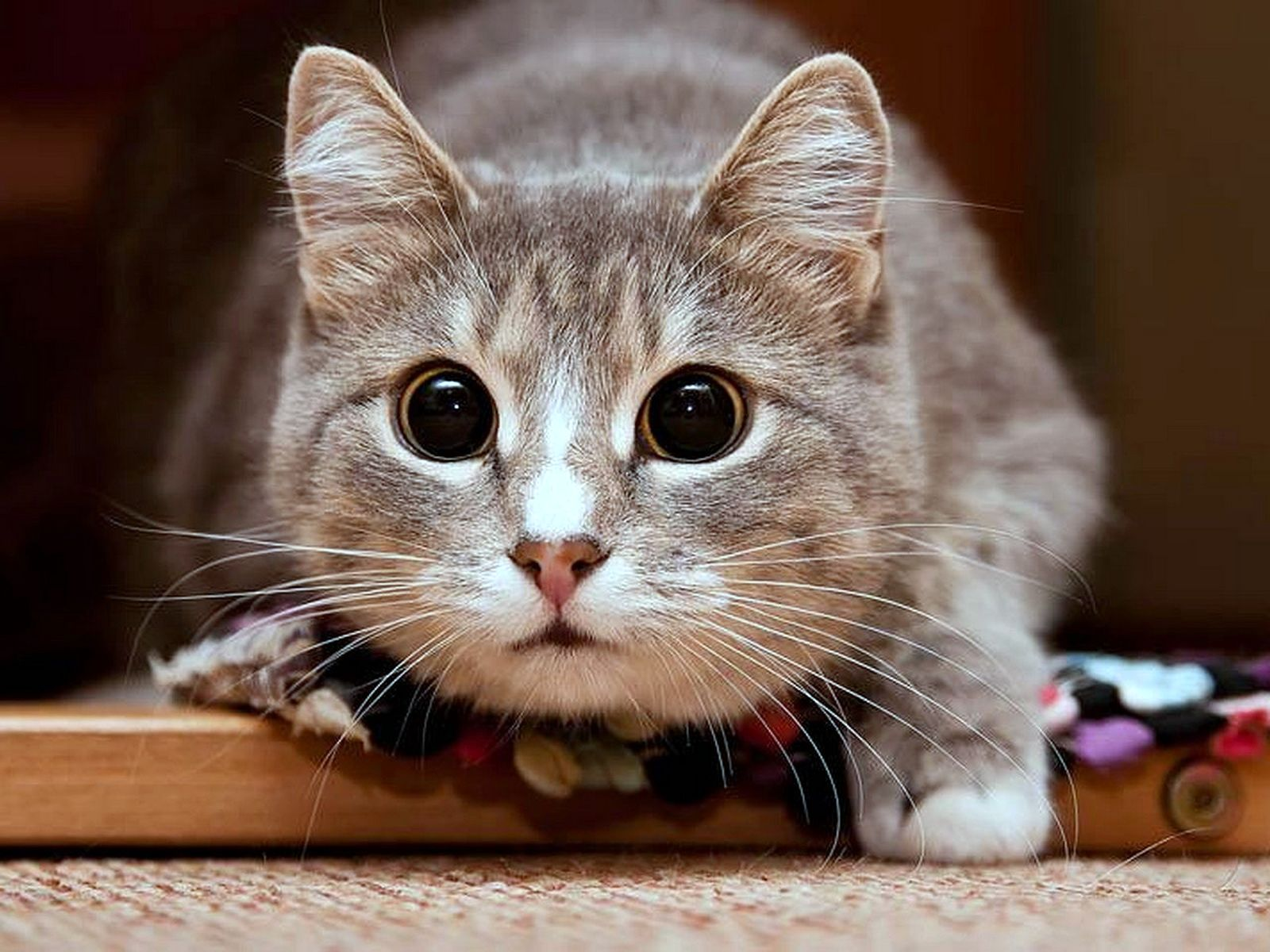 Котик, ян