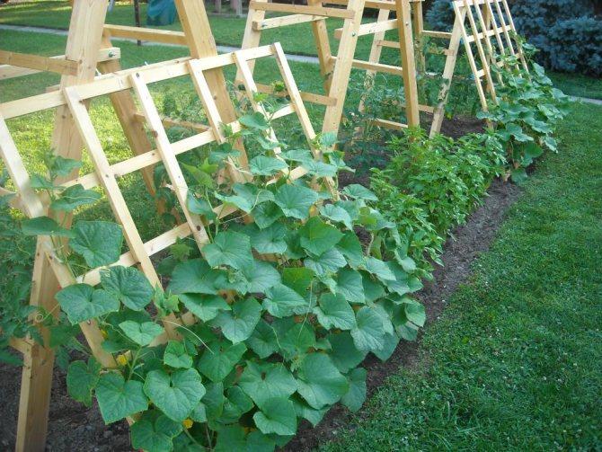 Огурцы партенокарпические: сорта для открытого грунта - обзор и выращивание!
