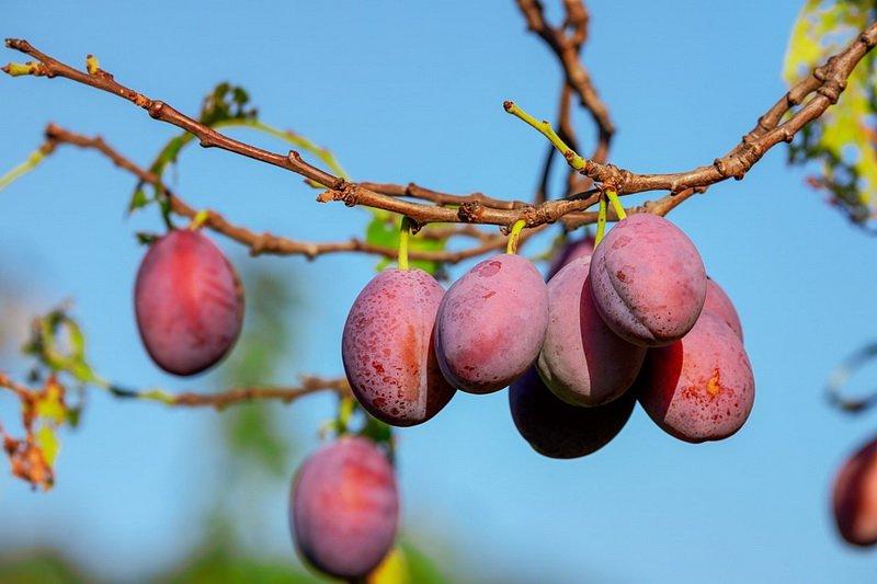 Слива — это ягода или фрукт? слива — это дерево или кустарник? : labuda.blog слива — это ягода или фрукт? слива — это дерево или кустарник? — «лабуда» информационно-развлекательный интернет журнал