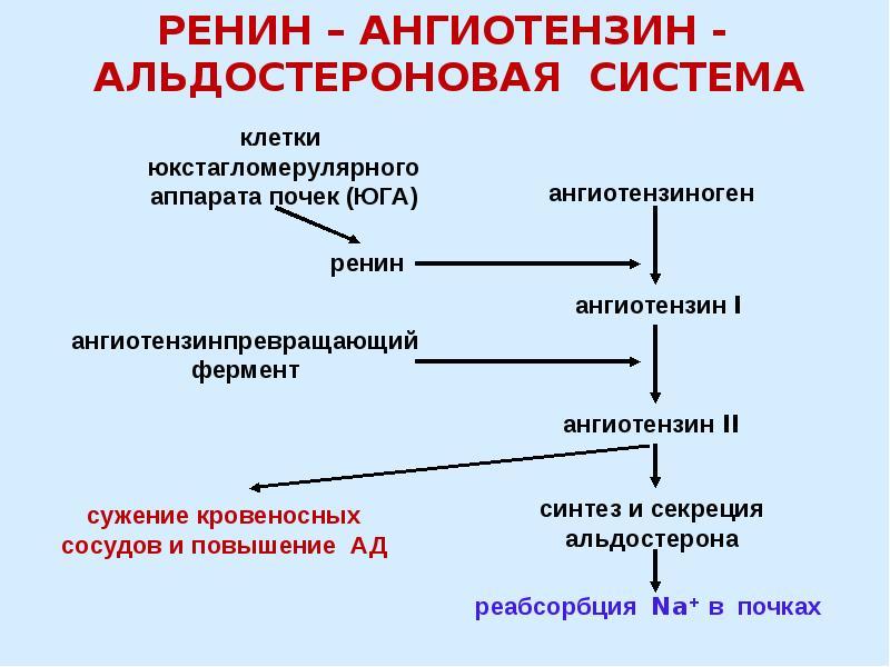 Альдостерон - что это такое? основной минералокортикостероидный гормон коры надпочечников у человека. альдостерон: норма, функции и роль в организме :: syl.ru