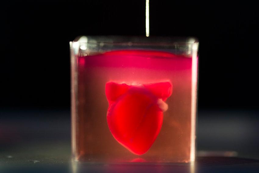 Сердце человека — википедия. что такое сердце человека