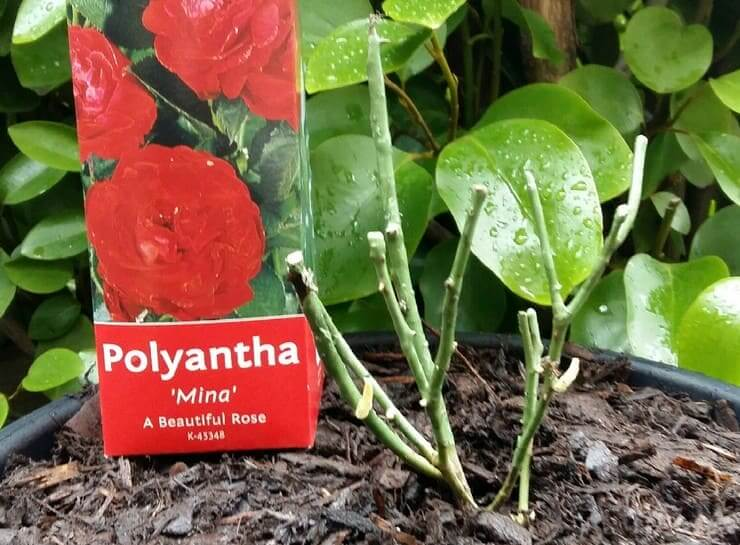 Роза полиантовая: преимущества сортов, посадка и уход, фото