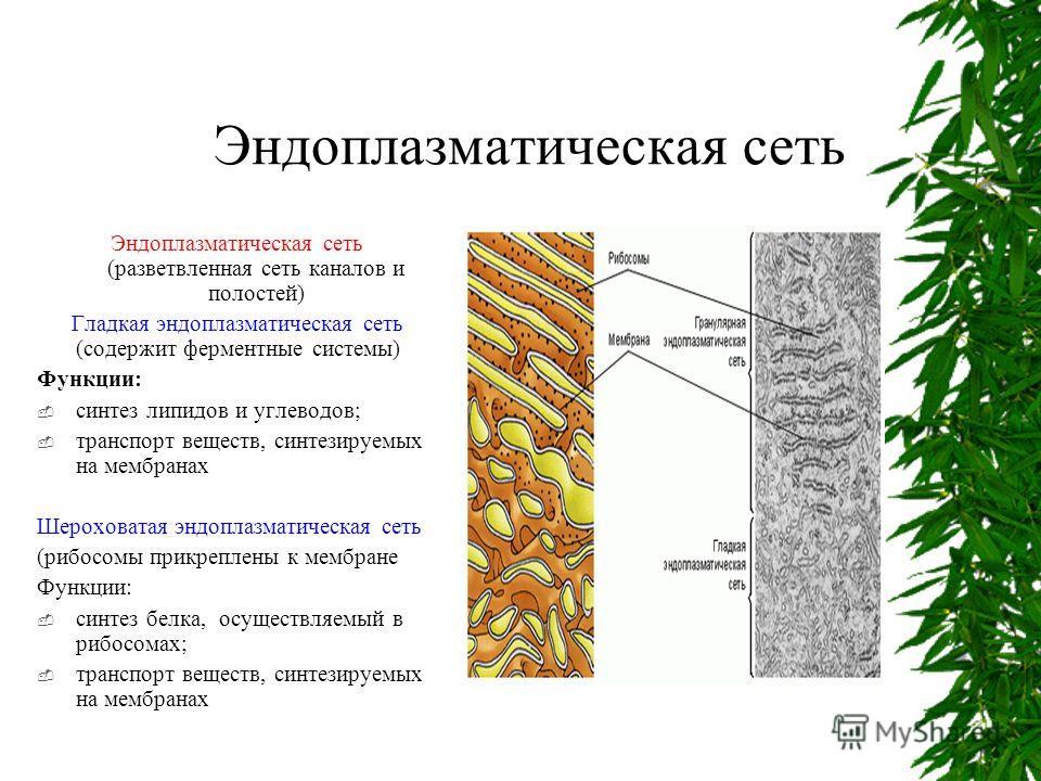 Эндоплазматическая сеть вики