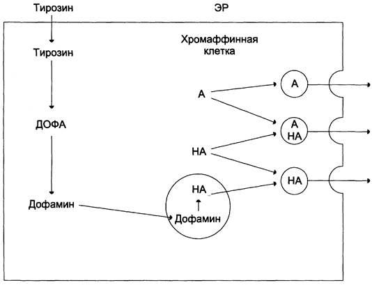Катехоламины - что это такое? определение уровня катехоламинов в крови и моче