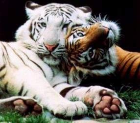 Тигры – виды с фото и описанием, список с названиями, видео, внешний вид, питание