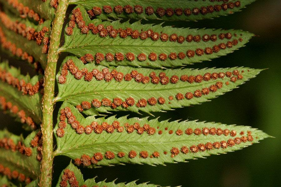 Что такое спорангии у растений