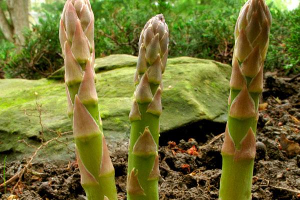 Спаржа: посадка и уход, сбор урожая и его хранение