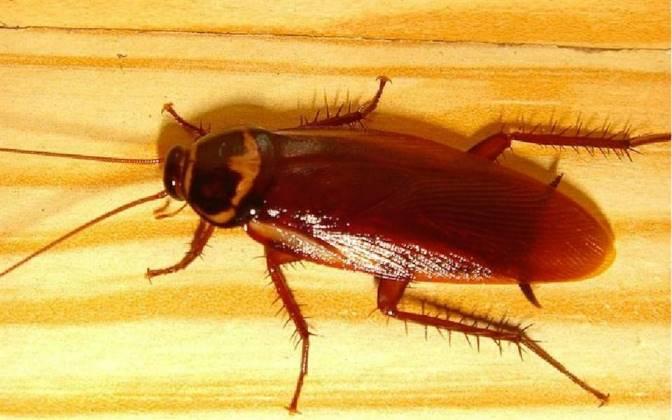 Как размножаются домашние тараканы, при какой температуре умирают, что едят