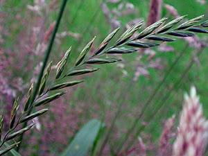 Пырей трава лечебные свойства