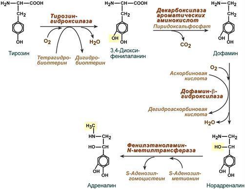 Анализ крови на катехоламины: как проводится и что показывает | food and health