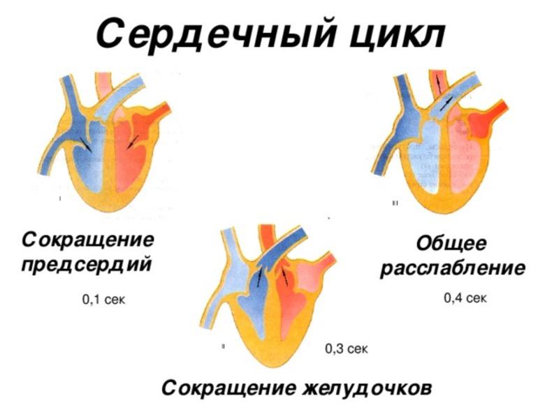 Систола и диастола сердца клапан. цикл работы сердца и фазы сердечного цикла. лечение и прогноз при систолической аритмии