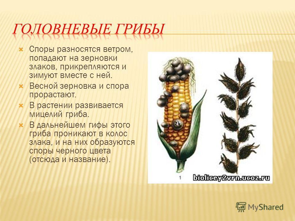 Головня пшеницы: что за заболевание, причины заражения, фото головневых зерен, методы борьбы и профилактики